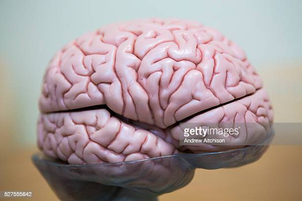 A side view of a plastic model of a human brain used to teach students at the Royal Neurological Hospital London United Kingdom