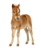 Side view of a poney, foal facing against white background