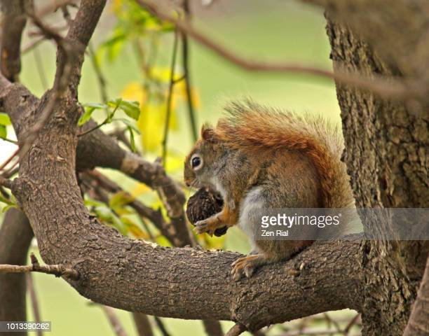 side view of a red squirrel on a tree branch busy eating a nut - american red squirrel stock photos and pictures