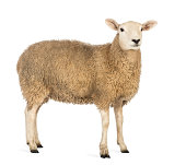 Side view of a Sheep looking away against white background