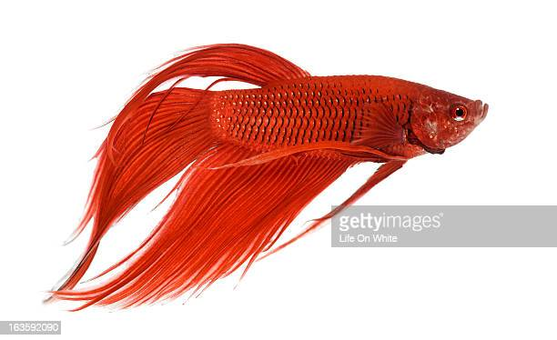 Side view of a Siamese fighting fish