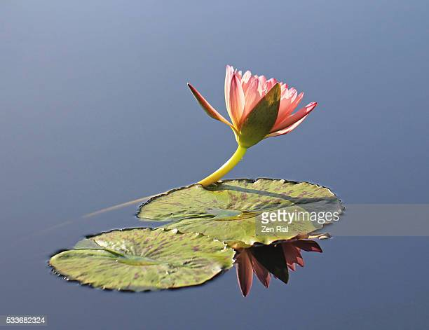 side view of a single pink water lily flower leaning on lily pad on blue background - zen rial stock photos and pictures