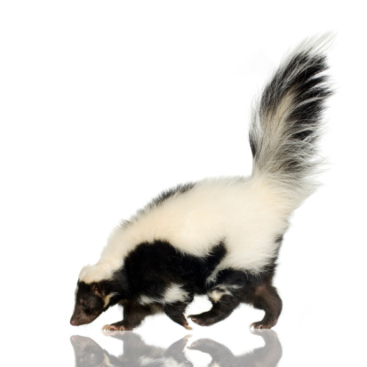 Side view of a striped black and white skunk 93212576