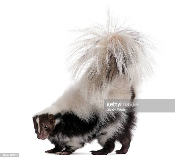 Side view of a Striped Skunk with its tail raised