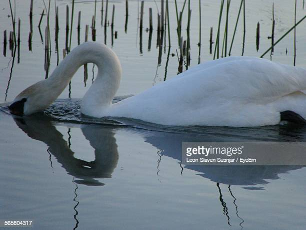 Side View Of A Swan With Reflection In Calm Water