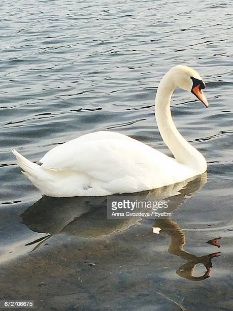 Side View Of A Swan With Reflection In Rippled Water