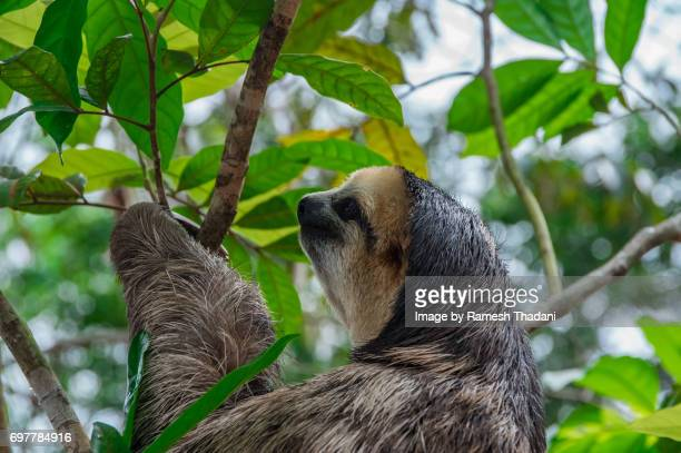 side view of a three-toed amazon sloth - three toed sloth stock pictures, royalty-free photos & images