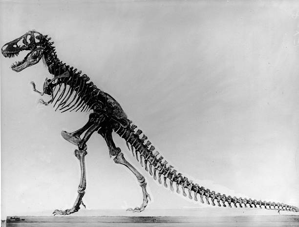 Side view of a tyranosaurus skeleton, undated.
