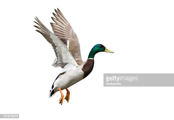 side view of a white, green and brown flying mallard drake - duck bird stock photos and pictures