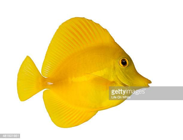Side view of a Yellow Tang