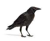 Side view of a young crow isolated on white