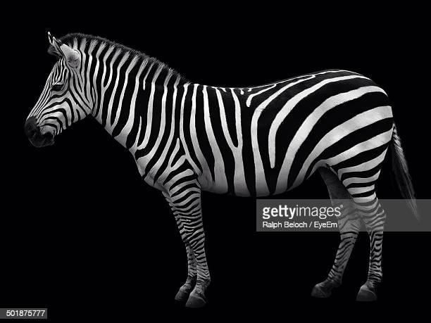 Side view of a zebra over black background