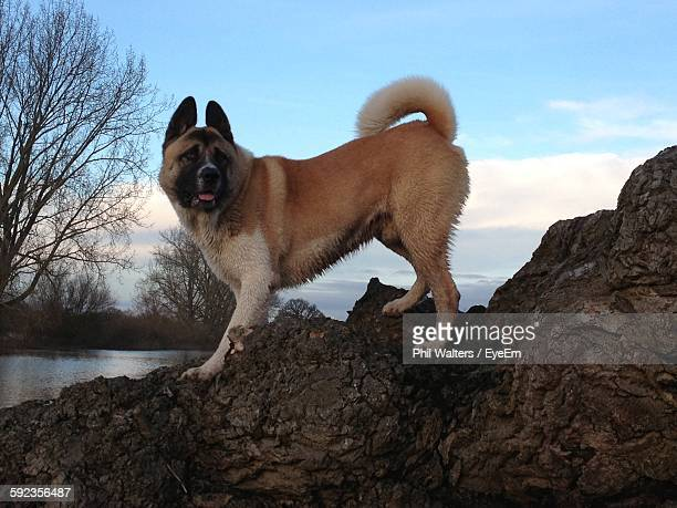 Side View Of Akita Standing On Rock Against Sky