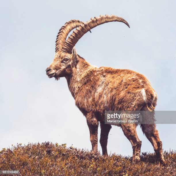 side view of alpine ibex standing on field against sky - ibex ストックフォトと画像