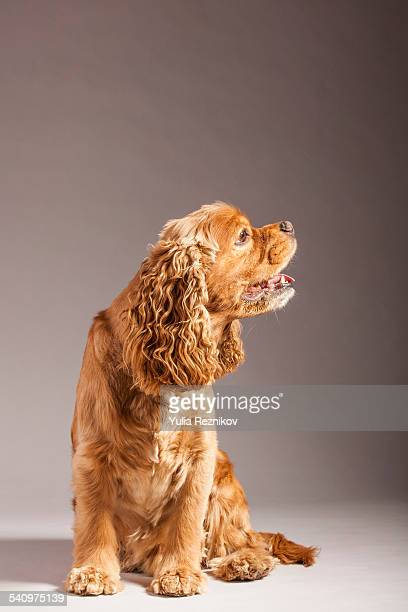 Side view of american cocker spaniel dog
