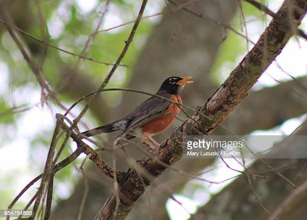 Side View Of American Robin Perching On Tree