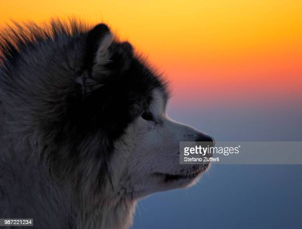 Side view of an Akita Inu dog at sunset in Friuli Italy.