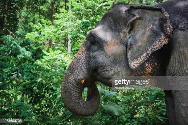 side view of an asian elephant in the jungle in thailand - asian elephant stock pictures, royalty-free photos & images