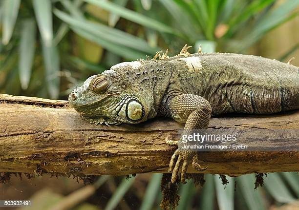 Side view of an iguana on log against blurred background