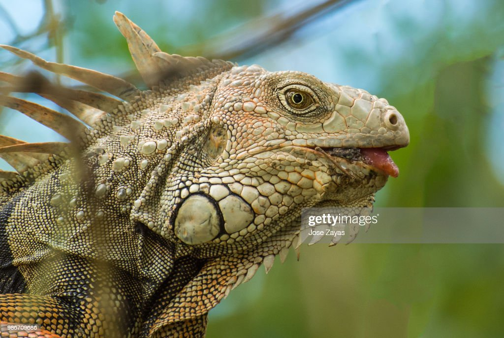 Side view of an iguana. : Stock Photo