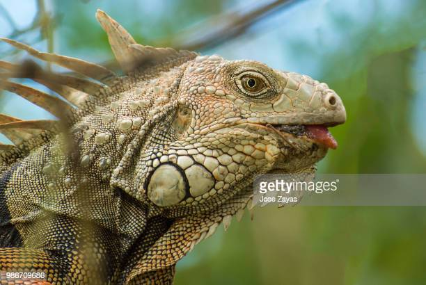 Side view of an iguana.