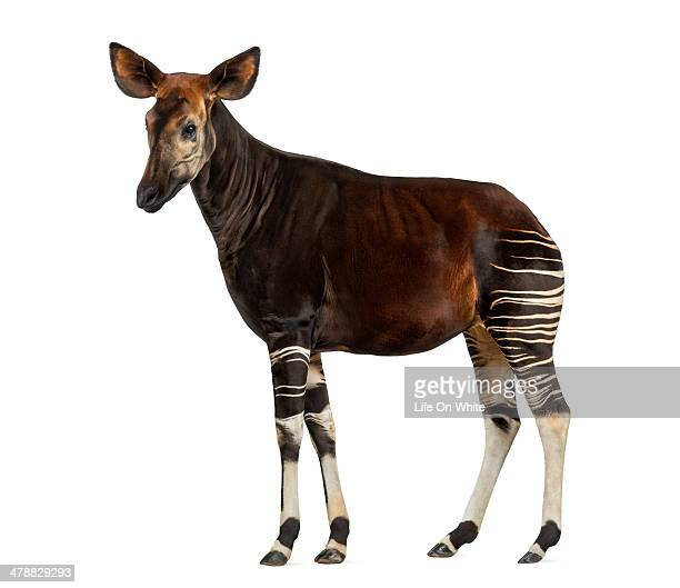 side view of an okapi standing, standing - okapi stock pictures, royalty-free photos & images