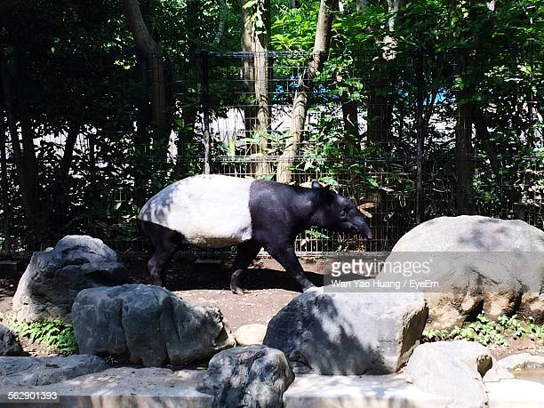 side view of anteater walking in zoo - shizuoka stock photos and pictures