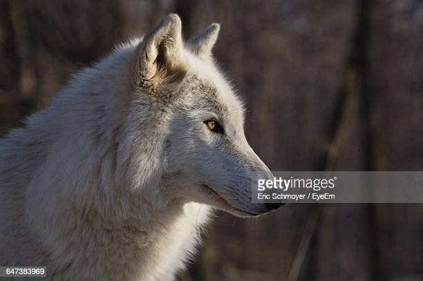 Side View Of Arctic Wolf