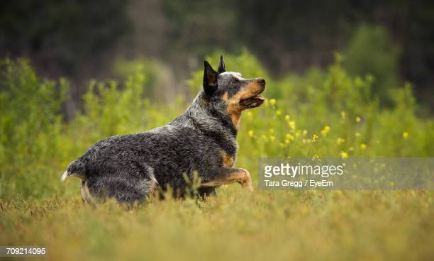 side view of australian cattle dog walking on field - australian cattle dog stock pictures, royalty-free photos & images