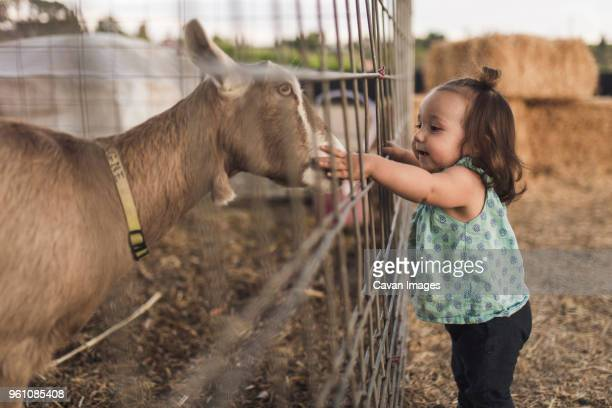 Side view of baby girl touching goat in animal pen