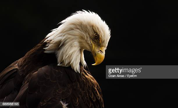 Side View Of Bald Eagle Against Black Background