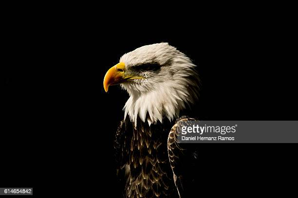 Side view of Bald eagle headshot detail with black background. Haliaeetus leucocephalus