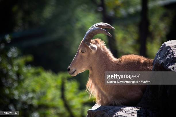 Side View Of Barbary Sheep