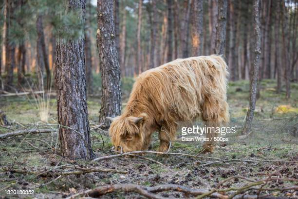 side view of bear standing in forest,rozendaalse veld,rozendaal,netherlands - posbank ストックフォトと画像