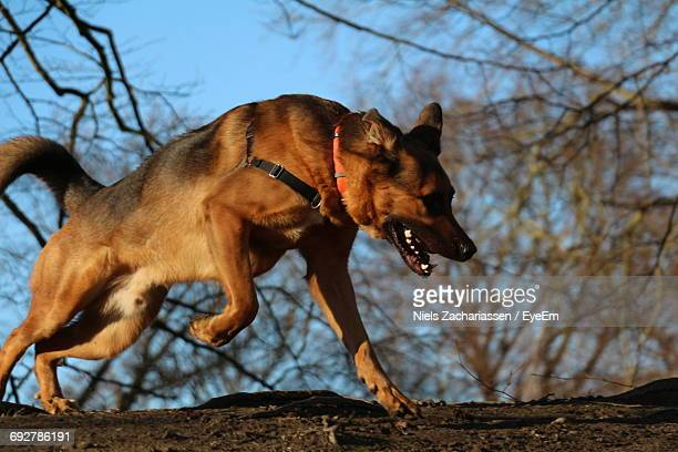 side view of belgian malinois running against bare trees - belgian malinois stock photos and pictures