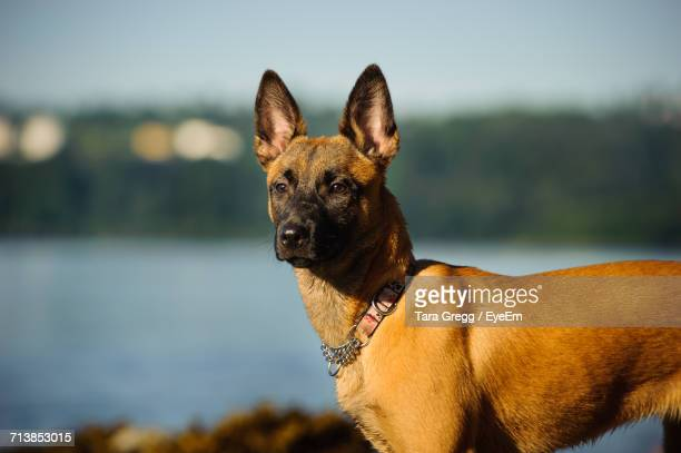 side view of belgian malinois standing on field - belgian malinois stock photos and pictures