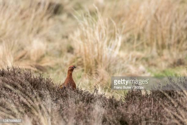 side view of bird perching on grassy field,simonside ridge walk,morpeth,northcumberland,united kingdom,uk - モーペス ストックフォトと画像
