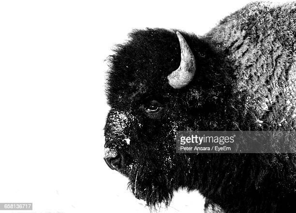 side view of bison during winter - buffalo stock pictures, royalty-free photos & images