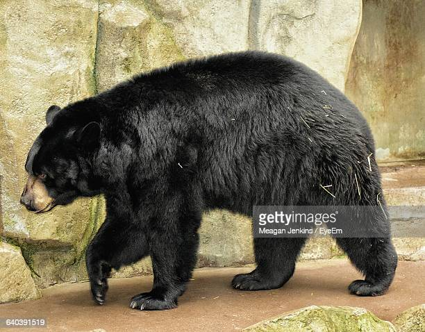 Side View Of Black Bear Walking