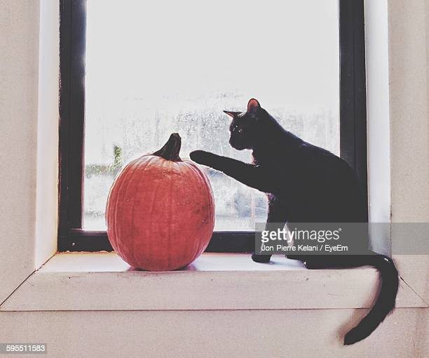 side view of black cat playing with pumpkin at window sill - pumpkin cats stock pictures, royalty-free photos & images