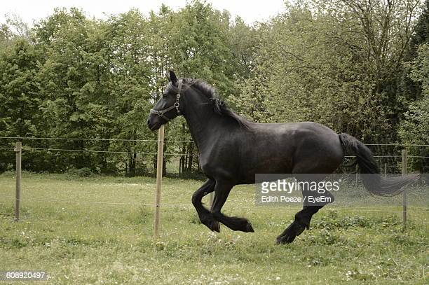 Side View Of Black Horse Running On Field