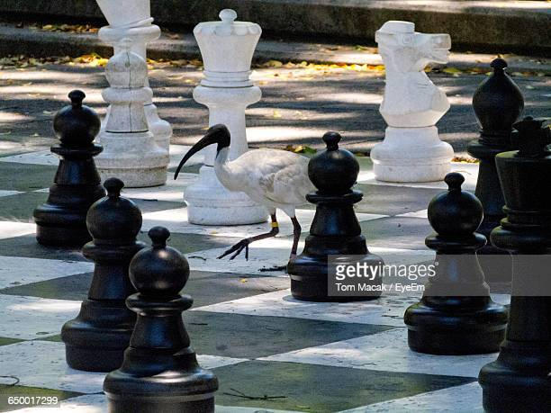 Side View Of Black-Headed Ibis Walking On Chess Board