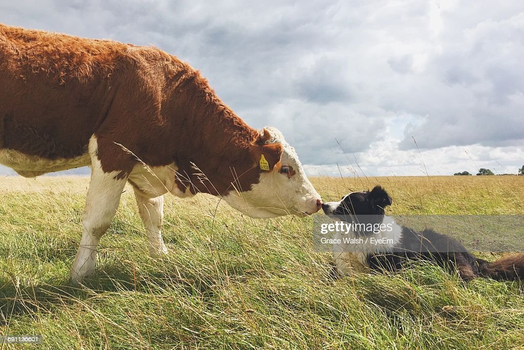 Side View Of Border Collie And Cow On Grassy Field Against Sky : Stock Photo