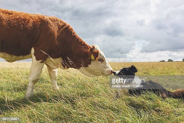 Side View Of Border Collie And Cow On Grassy Field Against Sky