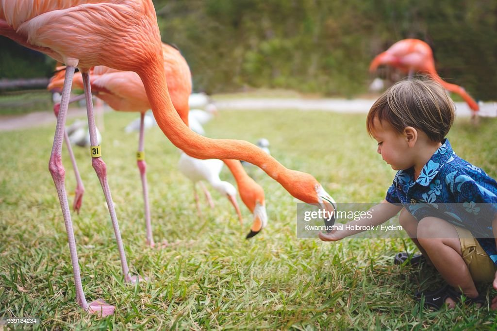 Side View Of Boy Feeding Flamingo On Grassy Field : Stock Photo