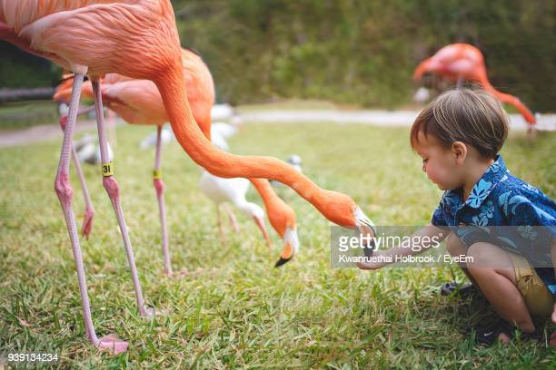 Side View Of Boy Feeding Flamingo On Grassy Field