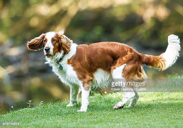 side view of brittany spaniel standing on grassy field at park - brittany spaniel stock pictures, royalty-free photos & images