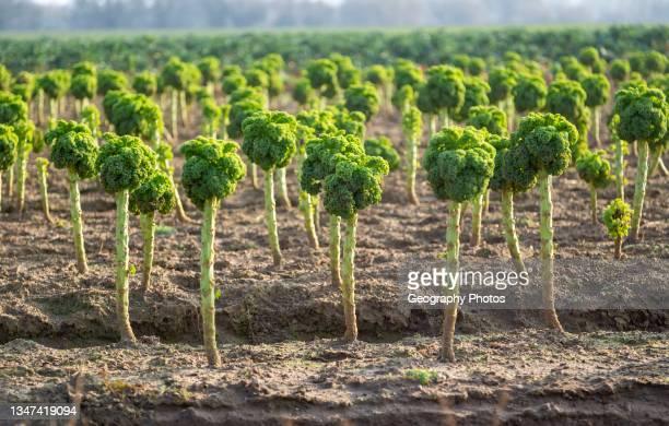 Side view of Broccoli plants, Brassica oleracea, growing in field, Bromham, Wiltshire, England, UK.