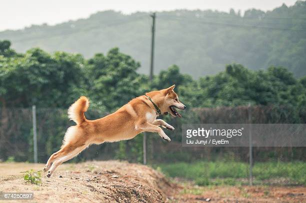 Side View Of Brown Dog Jumping Over Field