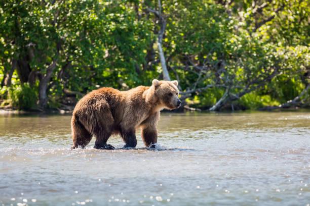 Side view of brown grizzly kodiak brown bear walking in lake,Russia